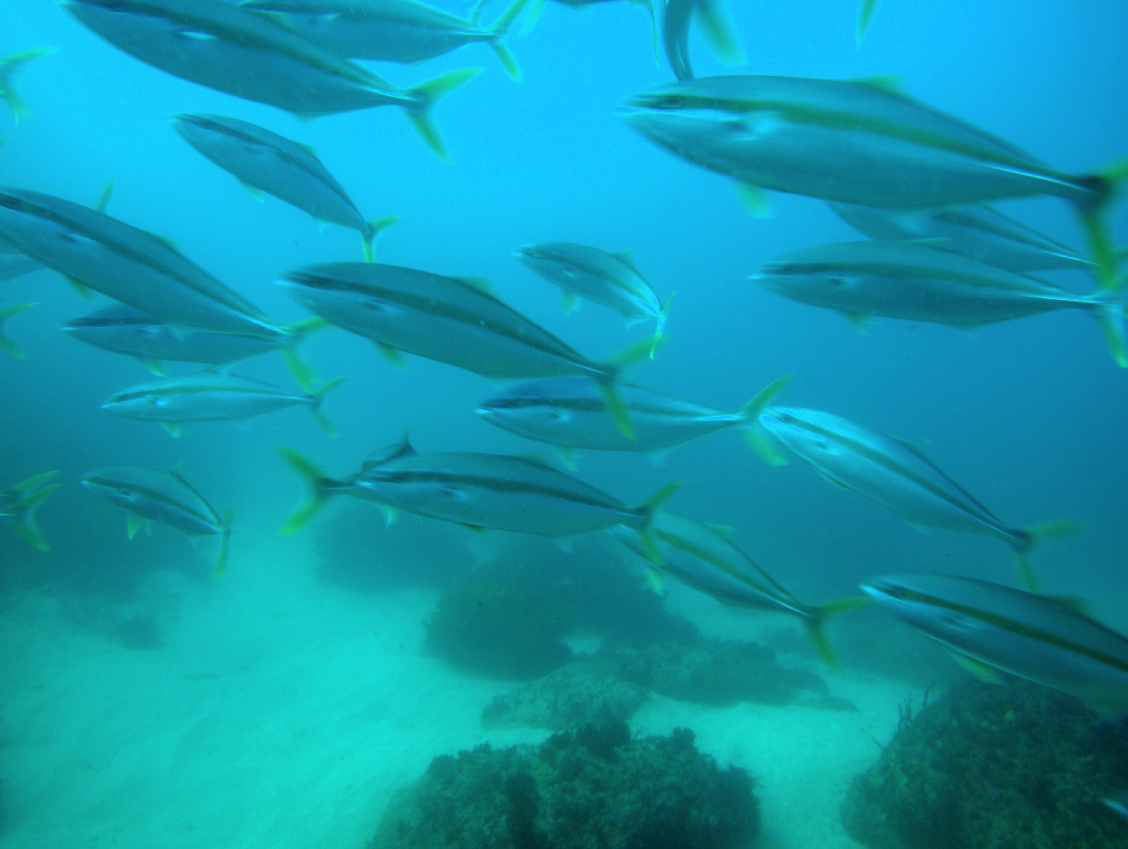 ryby w Australii