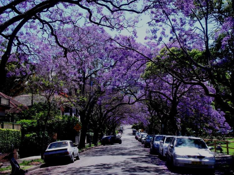 Jacaranda – Sydney w rozkwicie!