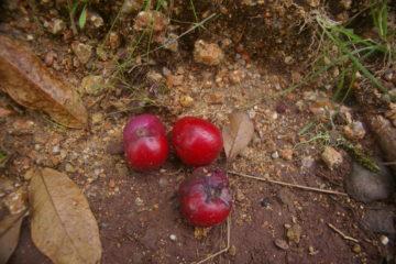 Owoce Australii