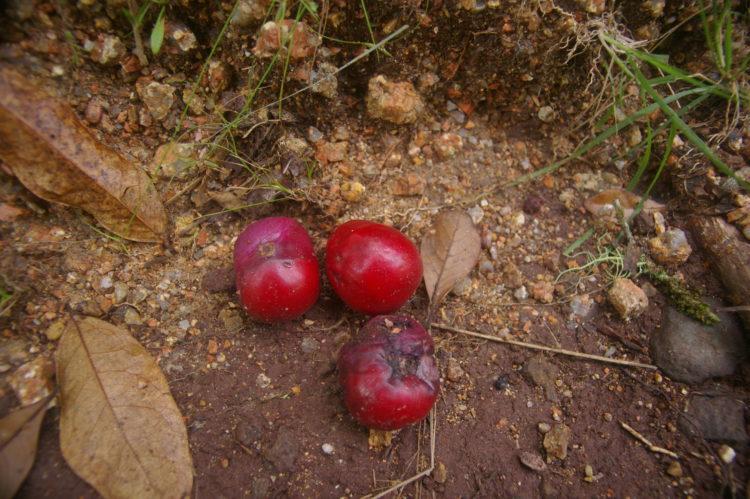 Owoce Australii – Śliwka Davidsona